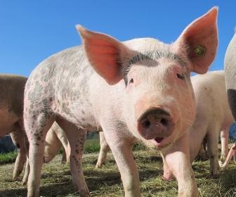 sennik Sen o świni